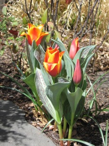 Glorious Spring Tulips!