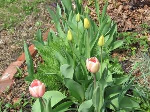 Spring blooming Tulips
