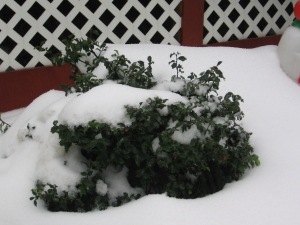 Snow damage to shrubs in inter
