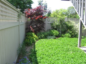 clover as ground cover