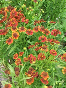 Helenium sunflower native