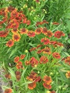 Helenium sunflower native