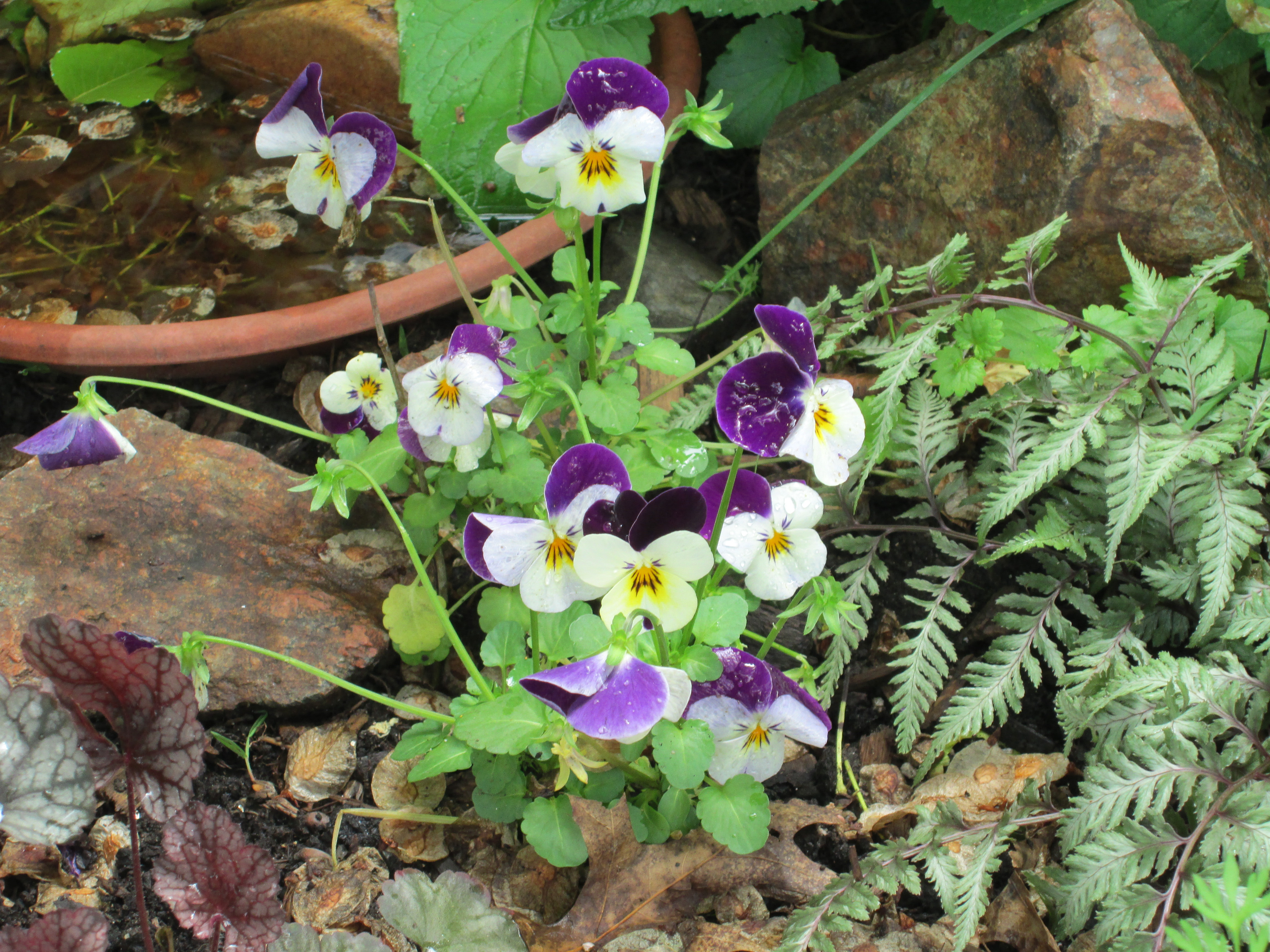 native violas and water source