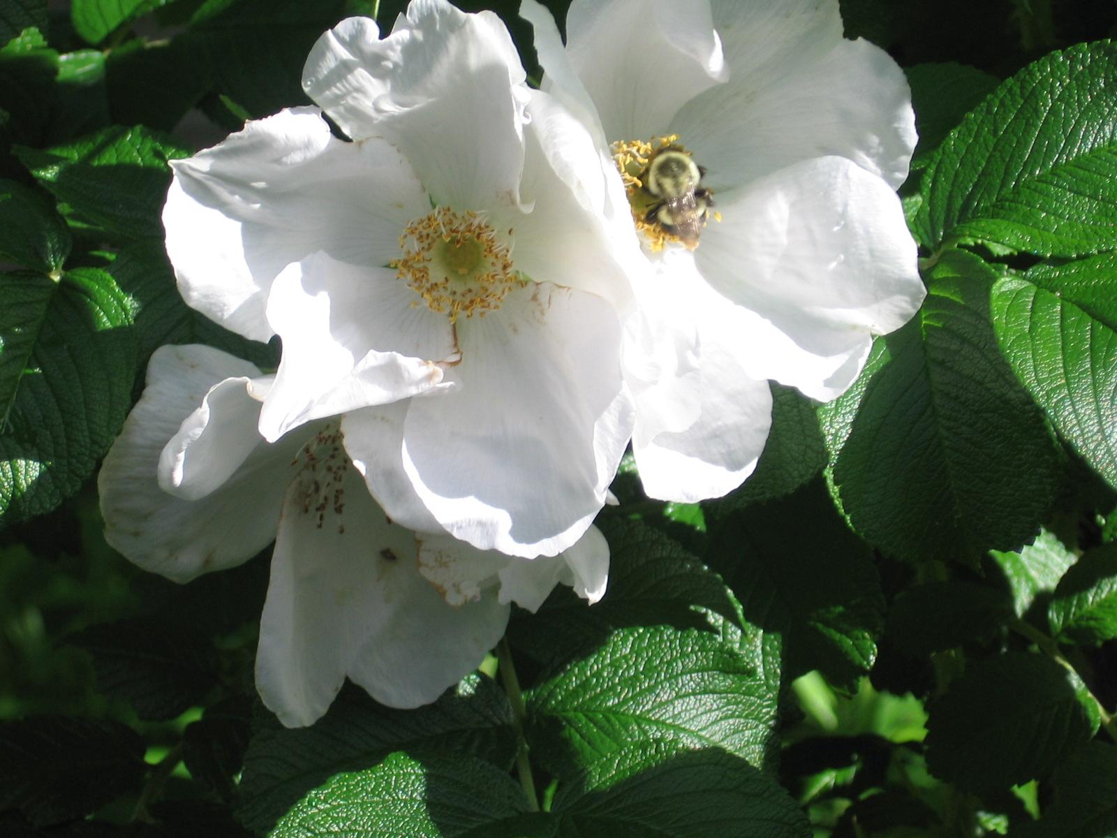 Rugosa rose & bumblebee